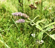 Harvesting and hydrodistillation of WILD MINT